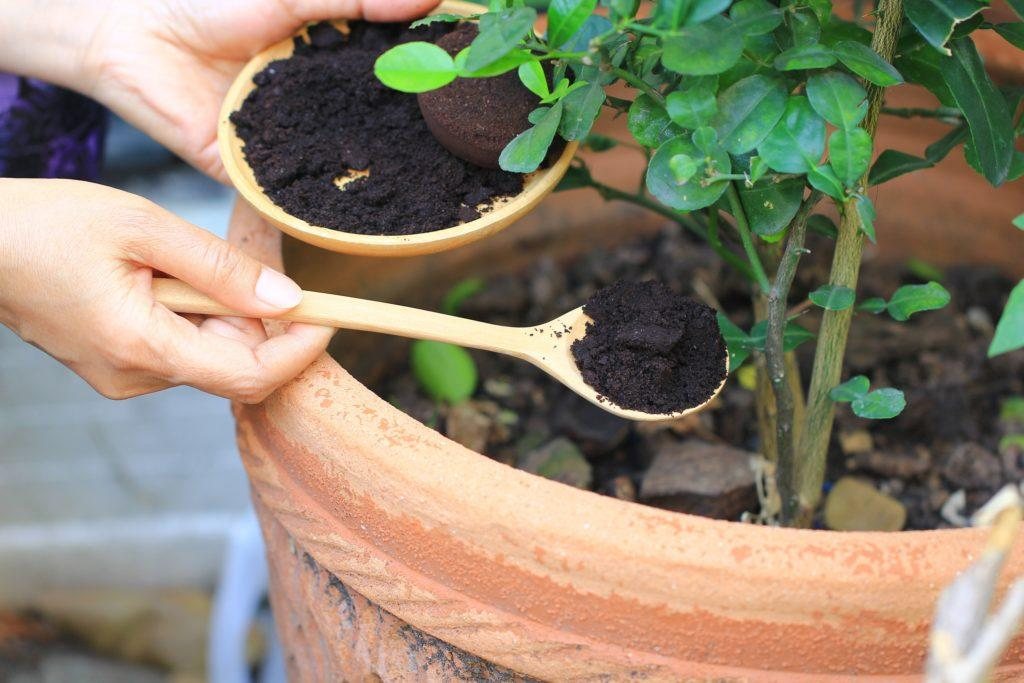 Ampas kopi digunakan sebagai pupuk tanaman.