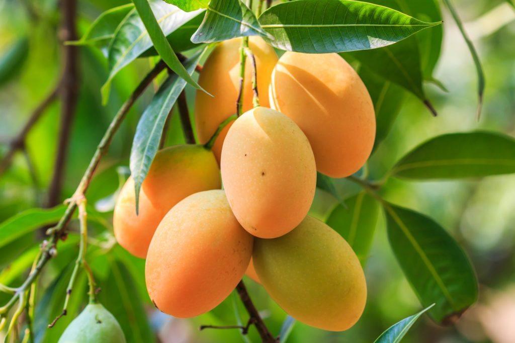 Beberapa mangga berwarna oranye menggantung di pohon.