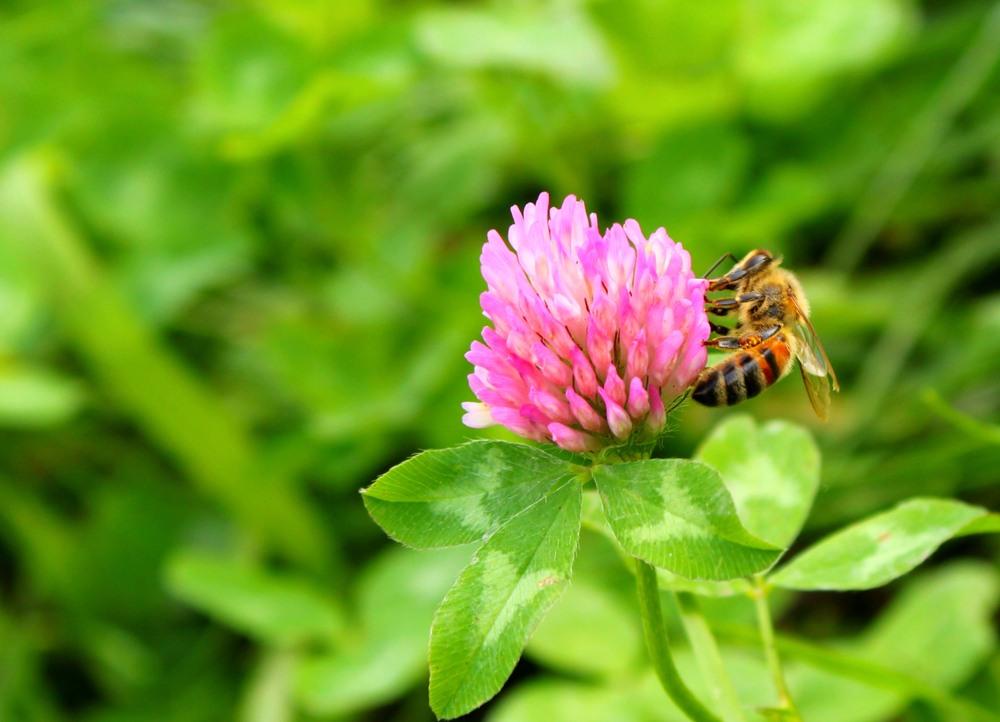 Seekor lebih tengah menghisap nectar untuk clover honey.